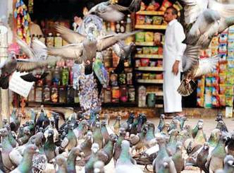 Pigeons intrudes Mahim making life miserable for all!