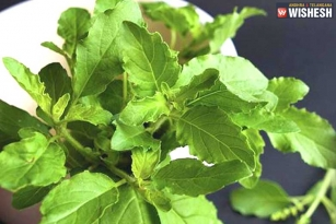Nine Powerful Benefits because of Tulasi Leaves